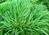 Presenta ciuffi folti e persistenti, foglie coriacee strette bordate di bianco e