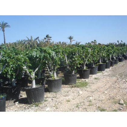 Bot nica levantina palm ceas rboles ejemplares for Viveros arboles ornamentales
