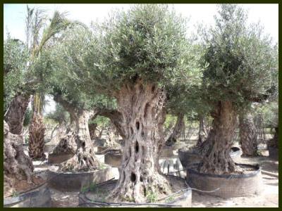 Viveros emilio d az plantas tropicales viveros y for Vivero plantas tropicales