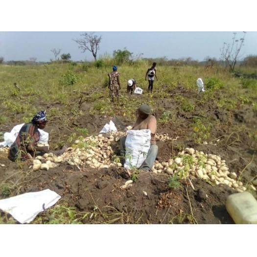 Récolte patates au Cameroun