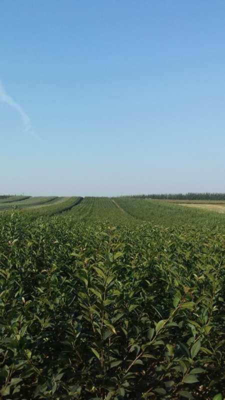 Fruit trees leszek adamczyk arbres fruitiers p pini re d - Coupe des arbres fruitiers ...