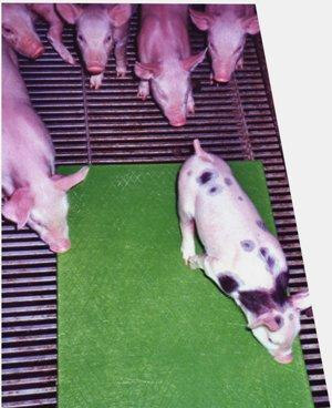 Placa de calefacción para porcino