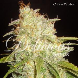 Semillas de marihuana semicritical yumbolt