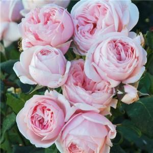 Nahema : Climbing rose