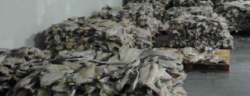 Northern Fish tem bacalhau salgado verde produzido a partir de peixe fresco
