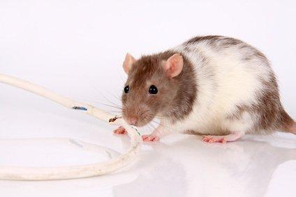 Materialschädling Maus