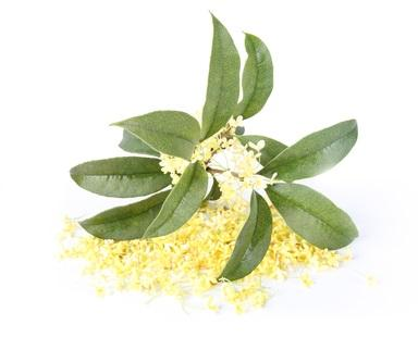 Osmanthus, which is native to China, is an evergreen bush that can grow into a tree up to 10 metres.  The fragrance of its delicate pale yellow flowers can only be extracted by solvent into a concrete