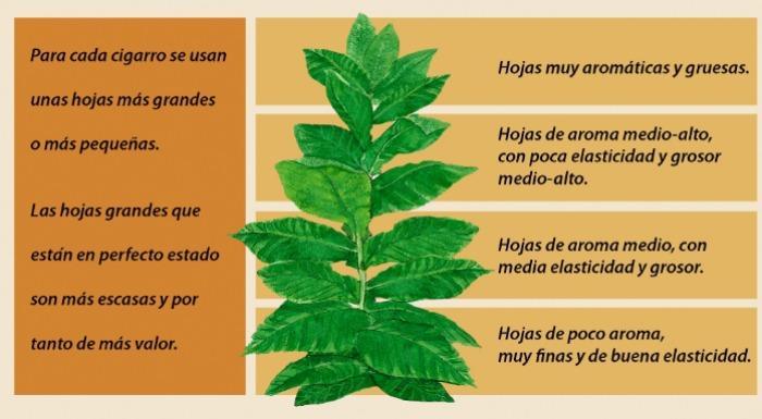 Características de las hojas de Tabaco