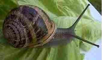 Vente d'escargots vivants
