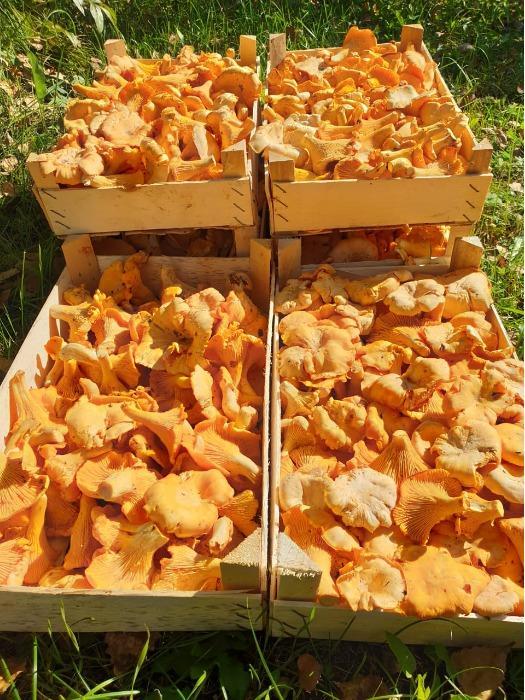 Сhanterelle mushrooms