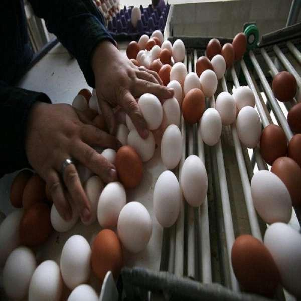 Fresh eggs import-export