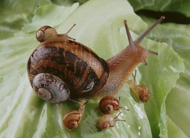 Vente en gros d'escargots vivants