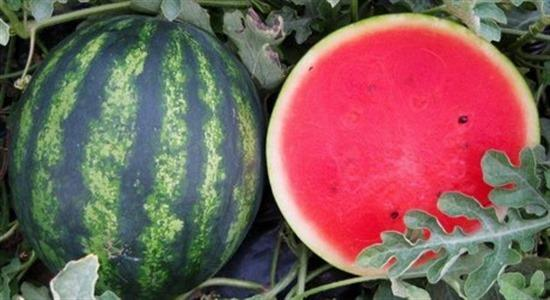 Fresh WATERMELONS of high quality and excellent taste