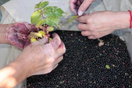 Maquiberry harvest