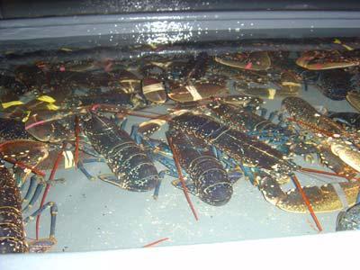 L'ECREVISSE SAS : vente en gros  homard Rungis, grossiste homard  Rungis, export homard. L'ECREVISSE : fournisseur  homard au pavillon de la marée Rungis et livraison homard.  Tél : 01 46 86 41 91.