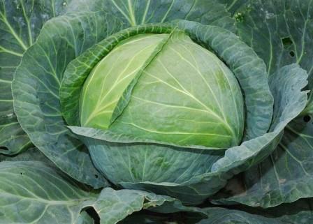 Wholesale supplier White cabbage grown in Ukraine