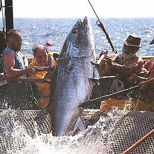 Pesca del tonno Rosso Sicilia