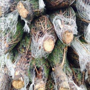 Weihnachtsbaum Großhandel für ganz Europa. Wir beliefern Sie europaweit mit frisch geschlagenen Nordmanntannen. http://weihnachtsbaum-verband.de