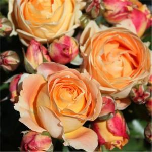 Dolce Vita : Landscape rose
