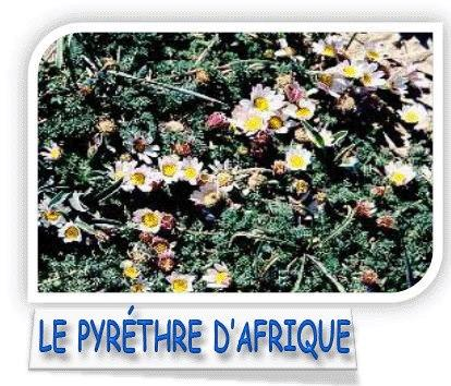 Le pyrèthre est un insecticide autorisé en agriculture biologique. Il n'est pas nocif pour les abeilles. Certains jardiniers utilisent ses fleurs pour préparer du purin ou des décoctions insectic