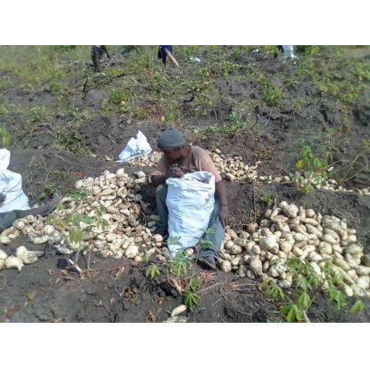 Récolte de patates de façon manuelle