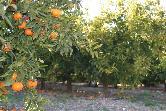 Vista de naranjos