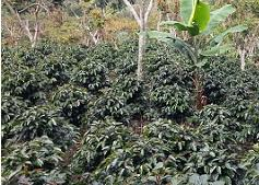 produccion de coffe