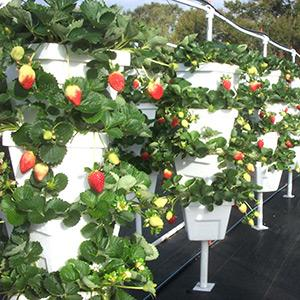 Vertical Growing systems for mass production of Strawberries and many other types of plants.