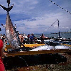 Tonno Pescato Sicilia