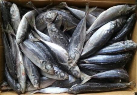 horse mackerel scad Trachurus japonicus FAO61