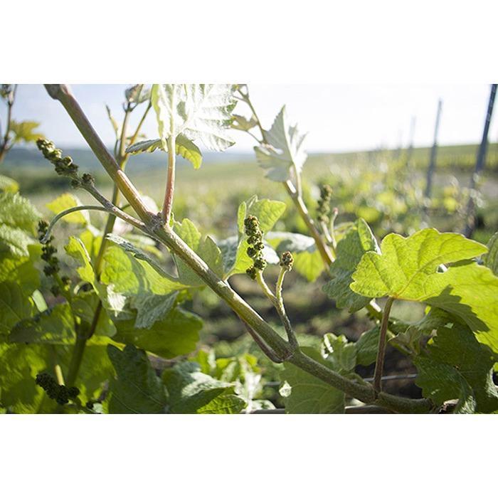 Jeunes fleurs de vignes - SAULCHERY