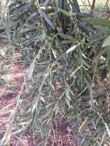 Oli extravergine di olive.