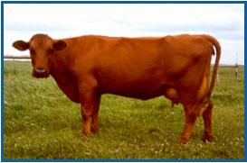 Red Danish Milk Breed