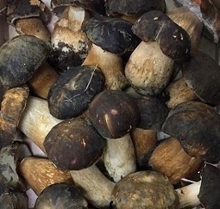 Fresh wild mushrooms, Boletus aereus. Aleramica Funghi