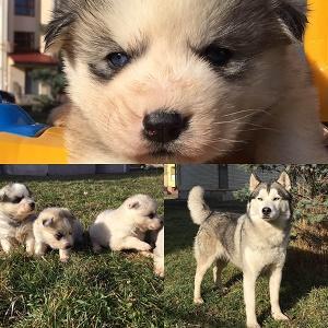 vendo cuccioli