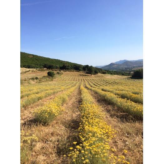 Champs d'immortelles en Corse
