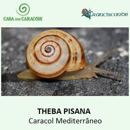 É o caracol mais consumido em Portugal e Espanha, e o mais comum usado gastronomicamente em cervejarias e restaurantes.