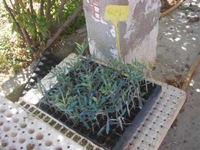 Vivero de olivos marcos vera informaci n referencias for Viveros de plantas en vigo