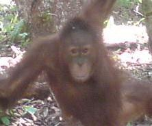 Tanjung Puting National Park is one of the place of conservation and rehabilitation of Orang Utan in Central Kalimantan. More than 6000 orangutan life in Tanjung Puting. you can explore this tour