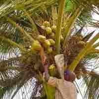 Fruits exotiques Côte d'Ivoire