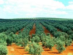 Fincas de olivar con molinos de aceite