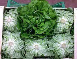colorazione verde brillante cespi molto voluminosi e pesanti