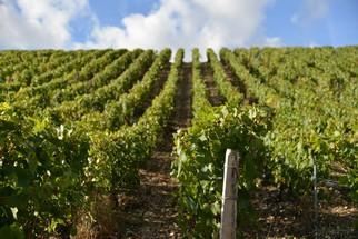 Vignoble du Domaine de l'Erable. Cépage unique: le chardonnay, qui offre une belle richesse aux vins de Chablis