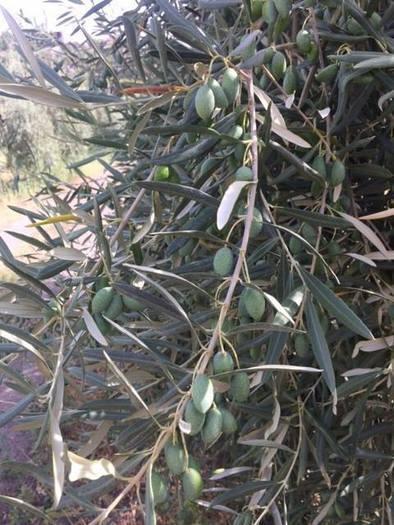 Olive alle pendici dell'Etna