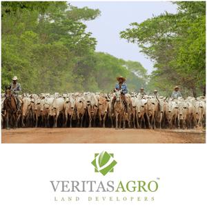 Brasilian cattle