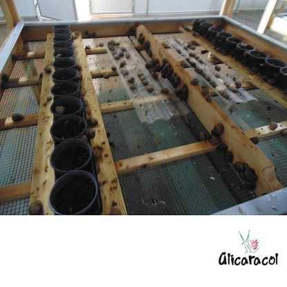 Sala de reprodução dos caracóis.