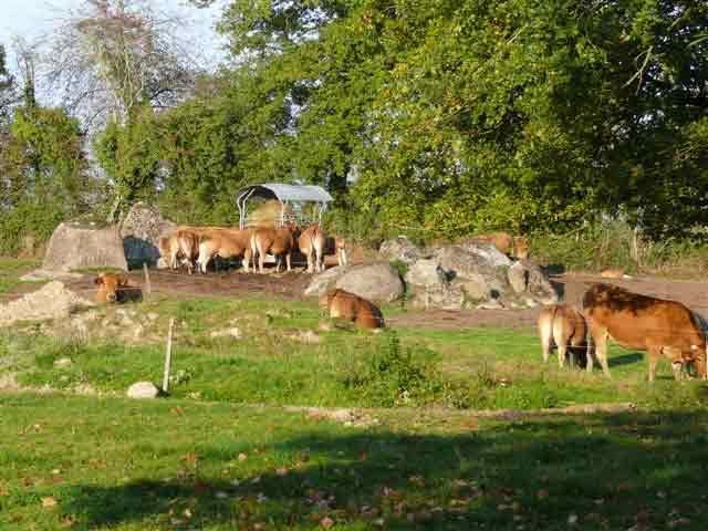 HERD OF PARTHENAISE COWS IN ENVIRONMENT