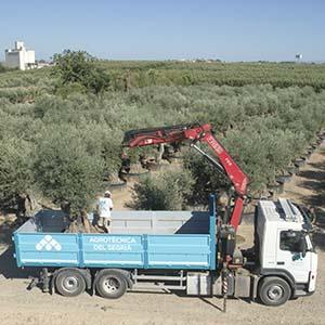 Truck moving an olive tree