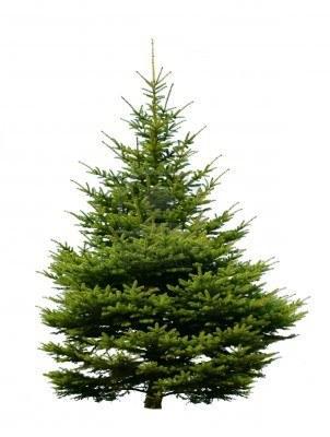 Pakistani Pine nuts tree