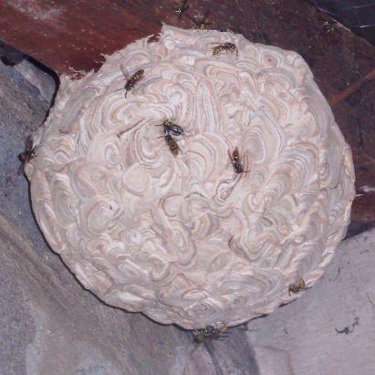 traitement nid de guêpes